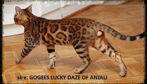 beautiful bengal stud cats making bengal kittens for sale