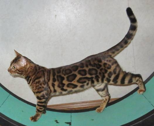 Bengal Kittens For Sale, Exotic spotted Bengal cats, Photos
