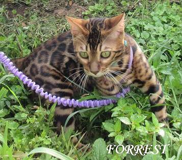 Bengal breeding male with Large  vivid rosettes