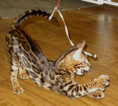 134a911d Bengal Kittens For Sale, Exotic spotted Bengal cats, Photos of show ...