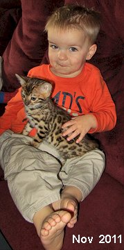 spotted Bengal Kitten for sale,