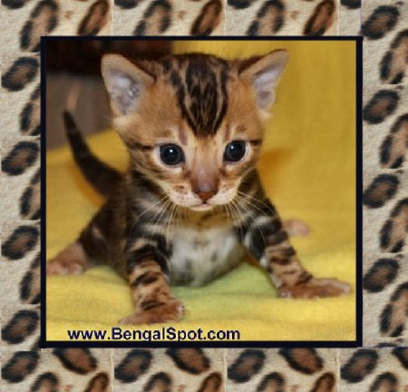 Bengal Cats For Sale In West Virginia