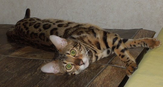beautiful bengal cats and kittens