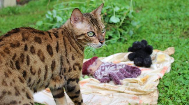 Adult female bengal cat available as a pet