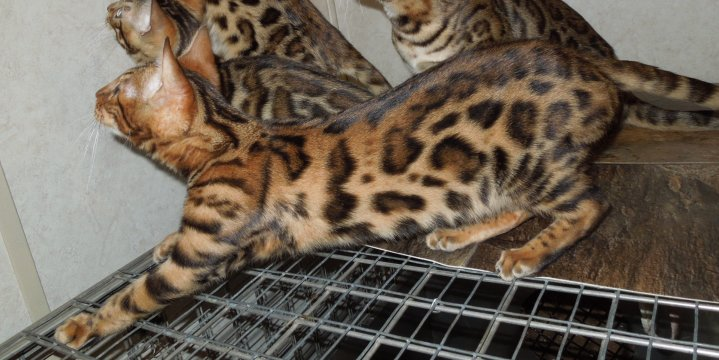 bengal cats for sale in WV