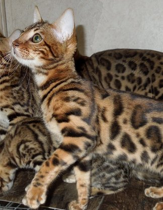 beautiful bengal cats for sale in WV