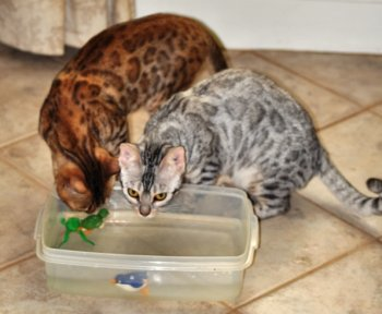 Retired Bengal Cats as pets