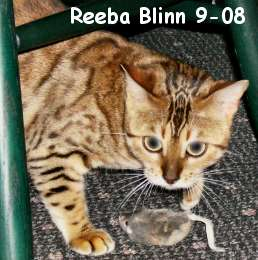 after breeding, retired bengal cat in pet home