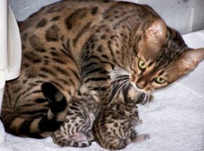 exotic bengal kitens available for sale in WV