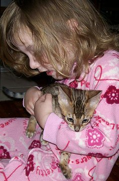 spotted Bengal Kitten for sale,  Bangal cat breeders in West Virginia