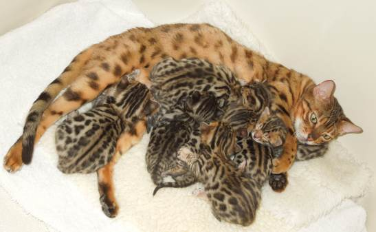 Exotic Bengal Kittens For Sale with rosettes spots,Health