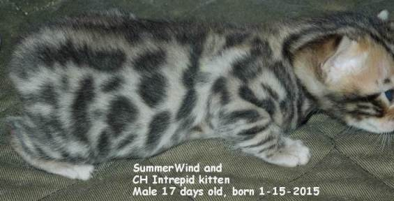 development of Rosettes on Bengal kittens 2