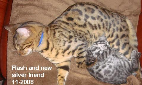 Bengals make wonderful pets and companions