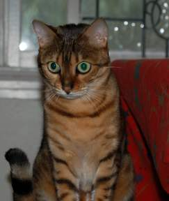 Retired breeding Bengal cat
