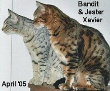 silver and brown bengal pets
