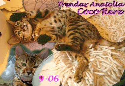 Bengal kittenss from Trendar in their new homes