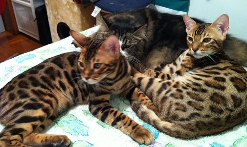 do bengal cats get along with other pets?