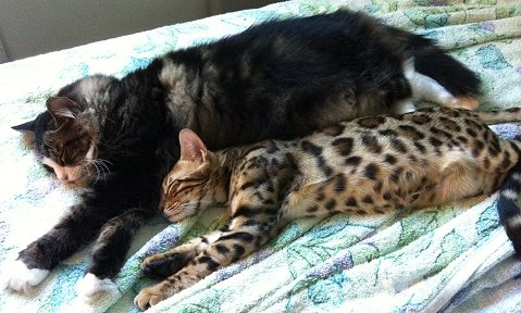 Bengals and other pets