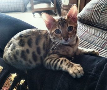 Trendar Bengal kittens as pets with a dog