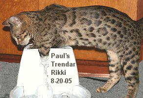 F3 Filial Bengal pet