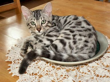 silver bengal kittens with TICA show winning class