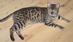 Gogees Day Trader, RETIRED breeding Bengal cat female
