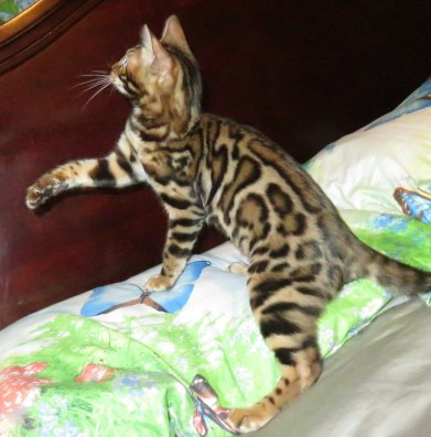 I am looking forward to his Bengal kittens