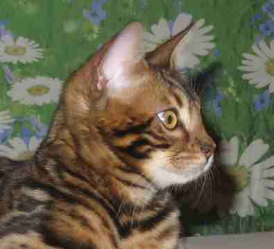 preferred profile for bengal cat males