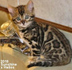 Bengal Kittens For Sale, Photos of show quality Bengal